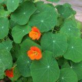 金蓮花の写真