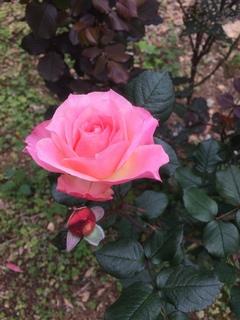 お庭にピンクの綺麗なバラの写真